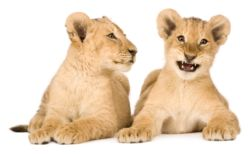 picture of lion cubs
