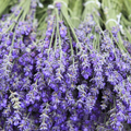 48 lavender plant bundle £5 all-in (norm £25)
